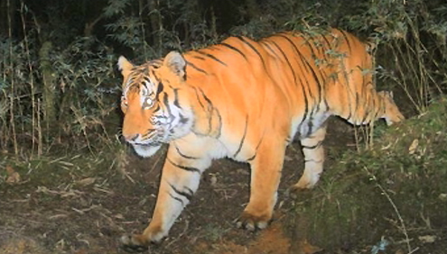 Number of tigers increases in Bhutan