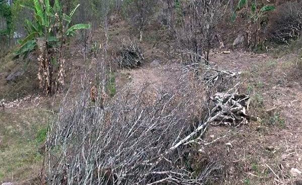 Dagana Dzongkhag to cut down 20,000 affected orange trees-
