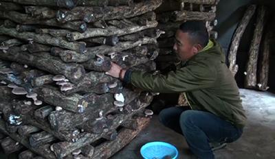 Locals in Paro pick up mushroom farming---