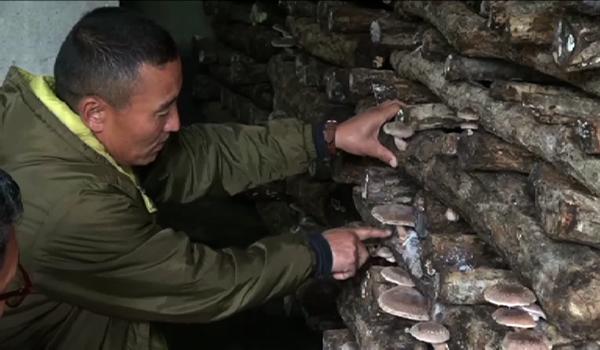 Locals in Paro pick up mushroom farming
