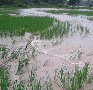 paddy fields were submerged-Sarpang
