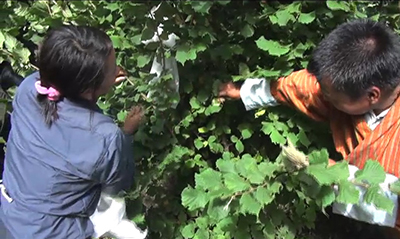 Trashigang harvests first batch of Hazelnuts-