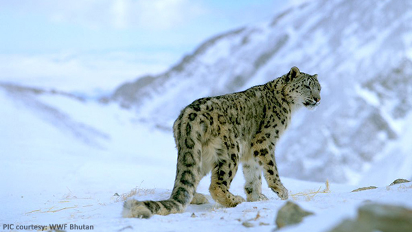 bhutan-has-96-snow-leopards