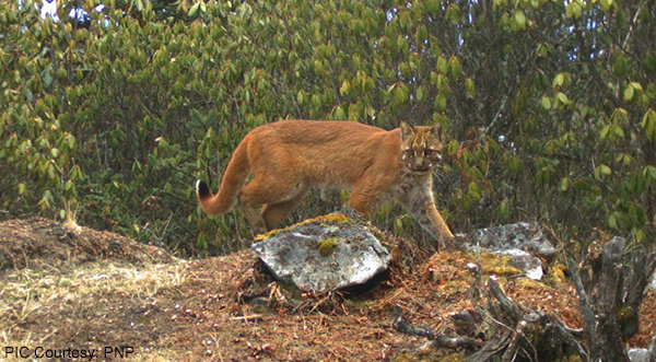 asiatic-golden-cat-sighted-at-a-record-altitude