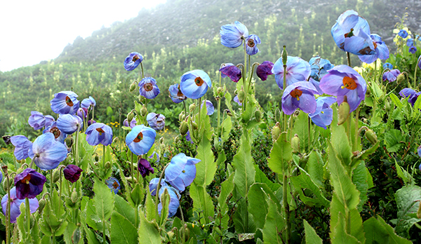 Bhutan's national flower and symbol of happiness, the Blue Poppy is actually a new species