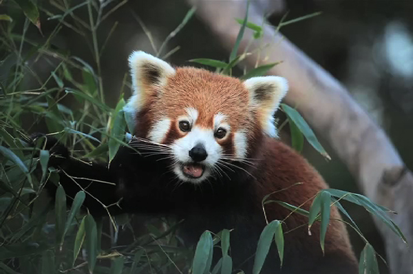 Image of: Wwf Sws Works To Save The Endangered Red Panda Bbs Sws Works To Save The Endangered Red Panda Bbs Bbs
